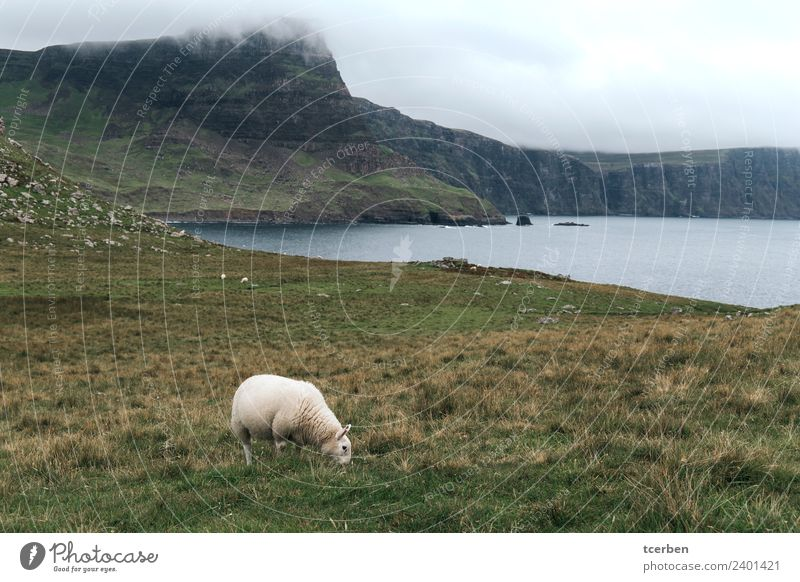 Sheep eating on nice green cliff next to the sea on cloudy day Nature Landscape Water Sky Storm clouds Sunrise Sunset Summer Grass Coast North Sea Animal