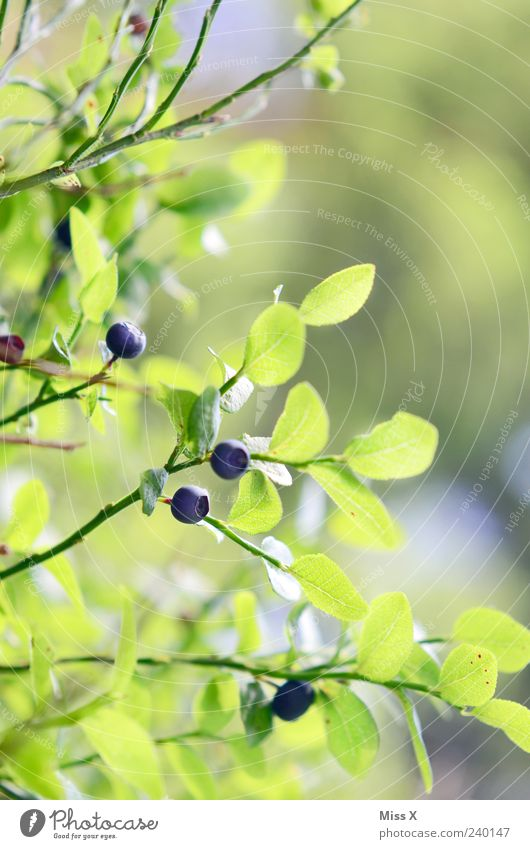 Blue Green Plant Summer Leaf Small Fruit Fresh Growth Bushes Round Delicious Berries Juicy Sour Twigs and branches