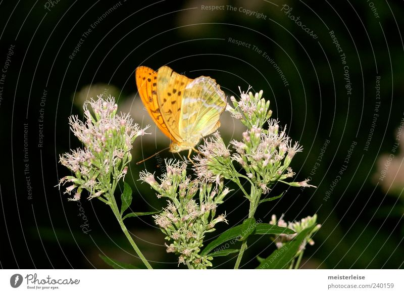 Animal Calm Yellow Blossom Orange Sit Butterfly To feed