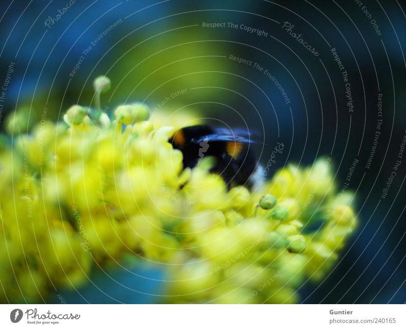 Blue Green Plant Flower Animal Black Yellow Blossom Wild animal Wing Insect To feed Bud Pollen Bumble bee Foraging