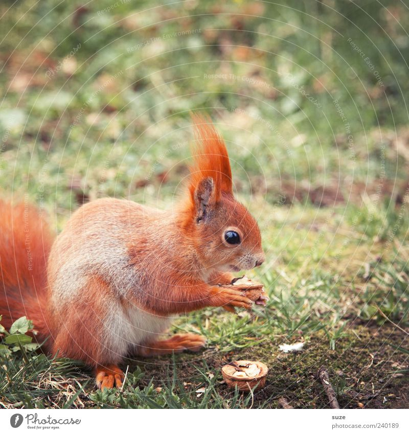 breakfast Environment Nature Plant Animal Grass Meadow Pelt Wild animal To feed Feeding Cute Beautiful Love of animals Nut Walnut Squirrel Rodent Colour photo