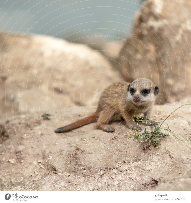 Nature Summer Animal Playing Baby animal Brown Rock Wild animal Sit Beginning Growth Cute Observe Curiosity Friendliness Animal face