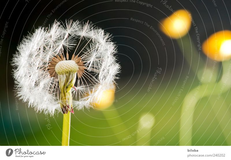 White Green Plant Black Yellow Blossom Time Esthetic Future Transience Dandelion Attachment Blow Seed Lose Wild plant