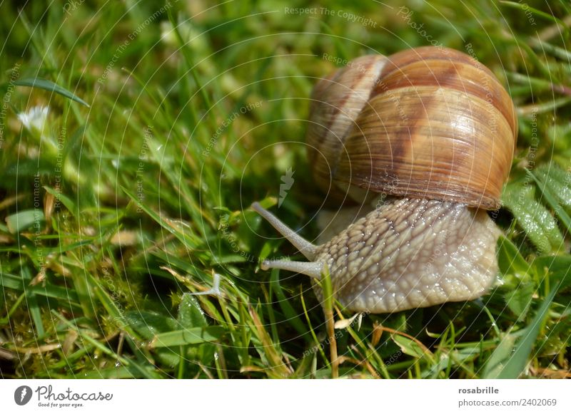 small slime - snail close in the grass on the right side Grass Garden Park Meadow Snail shell Animal Wild animal Vineyard snail Reptiles Mollusk 1 Slimy Brown
