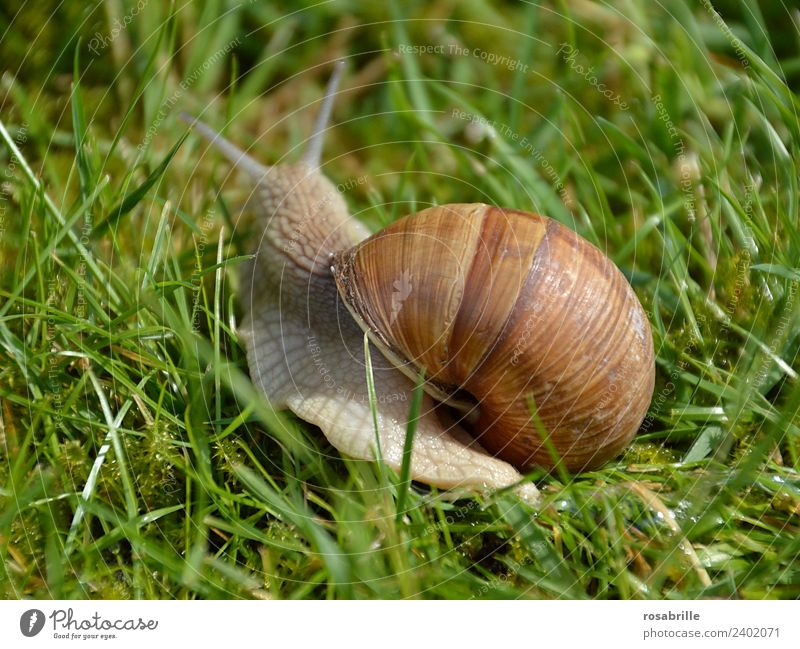 Move with house - Vineyard snail on the way Grass Garden Park Meadow Animal Wild animal Snail Snail shell Large garden snail shell Reptiles Mollusk 1 Natural