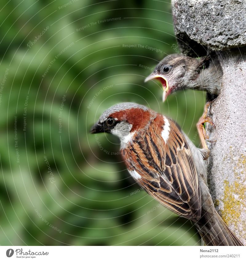 Teenage Sparrow Nature Animal Bird Animal face 2 Baby animal Animal family Feeding Communicate Aggression Brash Natural Anger Brown Green Passerine bird