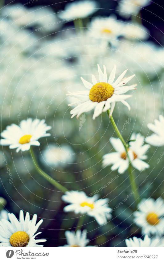 Margeriten Nature Beautiful White Flower Green Plant Summer Joy Yellow Blossom Garden Dream Park Bright Free Fresh