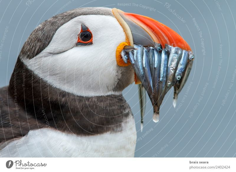 Atlantic Puffin (Fratercula arctica) adult with sandeels in bill, Farne Islands, United Kingdom Vacation & Travel Adventure Environment Nature Animal Water