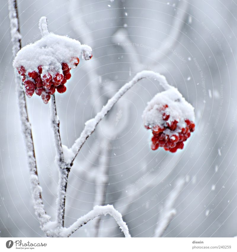 Rowberry ice cream Winter Ice Frost Snow Plant Bushes Wild plant Berries Twigs and branches Hang Cold Natural Nature Colour photo Close-up Deserted