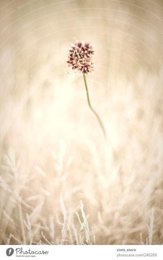 Delicate meadow picture with a flower in the middle Environment Nature Plant Summer Flower Grass Blossom Meadow Faded Esthetic Exceptional Brown Pink Beautiful