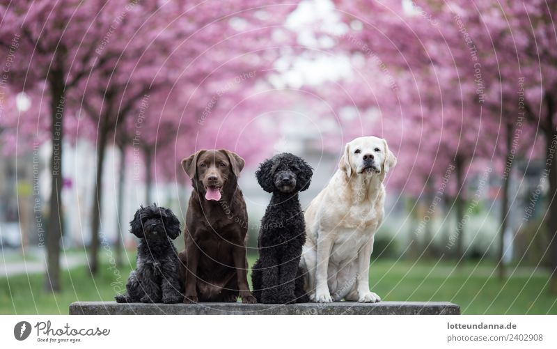 Dog pack under pink cherry trees Animal Pet 4 Group of animals Pack Blossoming Looking Sit Wait Cute Town Brown Multicoloured Gray Green Pink Black Spring fever
