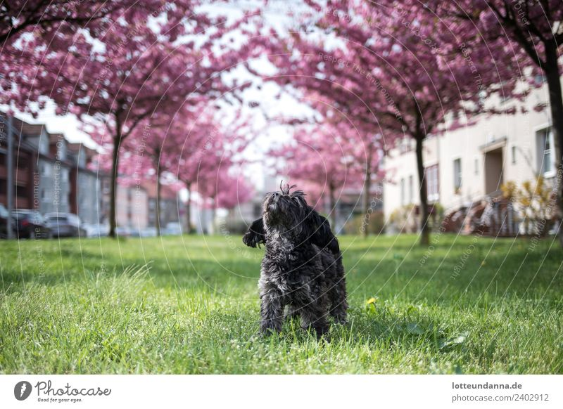 Small dog under cherry blossoms Pet Dog 1 Animal House (Residential Structure) Car Breathe Observe Blossoming Relaxation To enjoy Stand Simple Happy Infinity