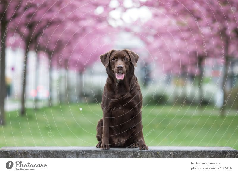 Brown Labrador retriever sits in front of cherry blossoms Tree Cherry blossom Pet Dog 1 Animal To enjoy Wait Colour photo Exterior shot Morning