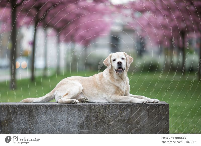 Yellow Labrador Retriever is in front of cherry blossoms Tree Cherry blossom Pet Dog 1 Animal Lie Colour photo Exterior shot Morning Shallow depth of field