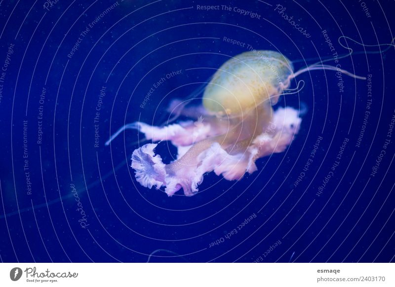 Jellyfish Nature Water 1 Animal Fantastic Blue Underwater photo Deserted