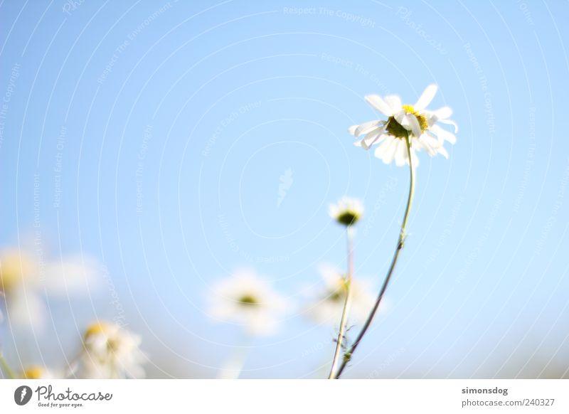 Sky Nature White Plant Summer Flower Blossom Bright Power Natural Elegant Fresh Esthetic Illuminate Hope Uniqueness