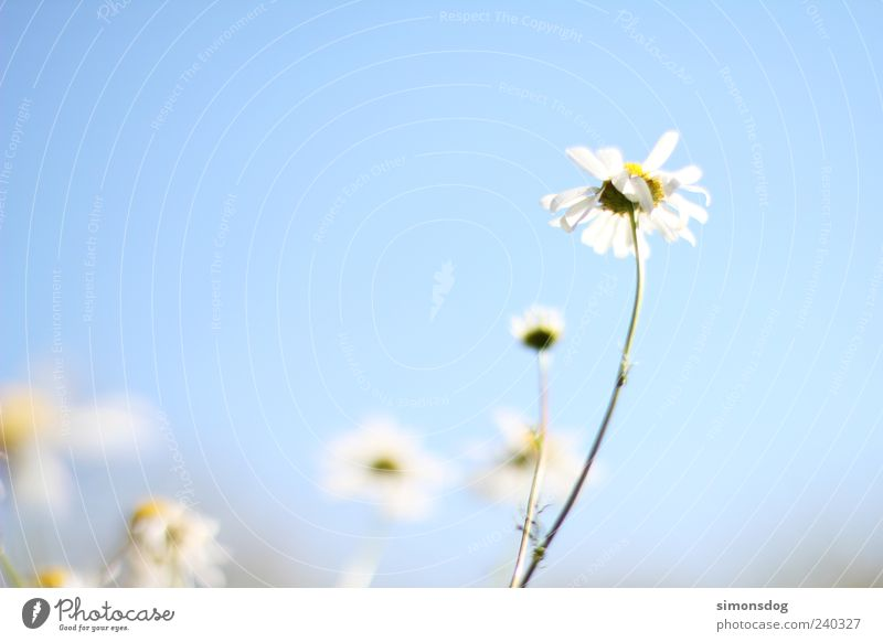 skyflower Nature Sky Cloudless sky Summer Plant Flower Blossom Blossoming Fragrance Illuminate Faded Esthetic Elegant Bright Natural Spring fever Uniqueness