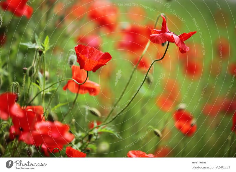poppy dream Nature Plant Sunlight Summer Flower Wild plant Corn poppy Poppy Blossom Meadow Field Green Red Colour photo Exterior shot Deserted Copy Space right