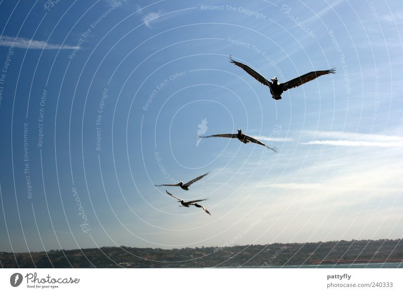 approaching Animal Wild animal Wing Pelican 4 Flock Flying Elegant Free Colour photo Exterior shot Day Freedom Ease Sky