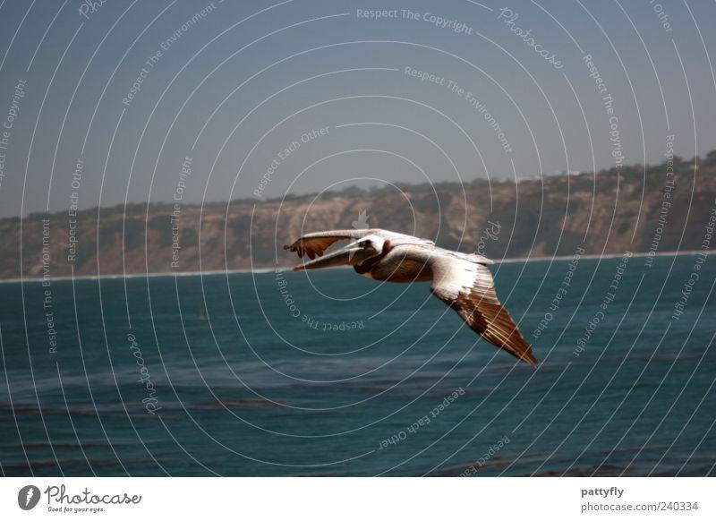 Nature Water Beautiful Ocean Animal Bird Flying Wild animal Elegant Authentic Flight of the birds Pelican