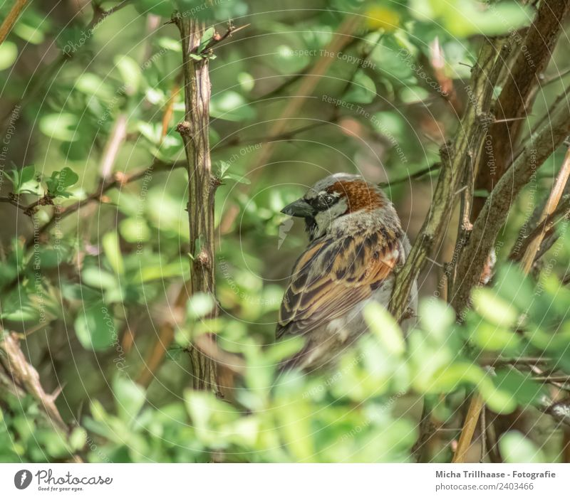 Sparrow hidden in a bush Environment Nature Animal Sun Sunlight Beautiful weather Bushes Leaf Wild plant Wild animal Bird Animal face Wing Passerine bird Eyes