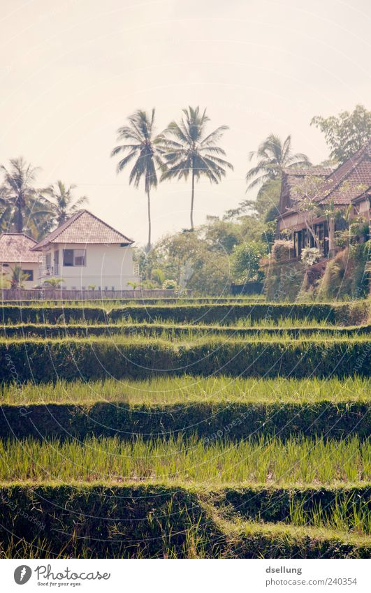 Nature Green Plant House (Residential Structure) Environment Landscape Brown Field Authentic Palm tree Rice Agricultural crop Paddy field Terraced field