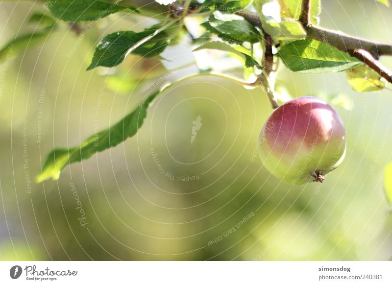 apple-fresh Fruit Apple Organic produce Hang Fresh Round Sour Green Apple tree Domestic farming Fuit growing Crunchy Red Leaf Colour photo Multicoloured