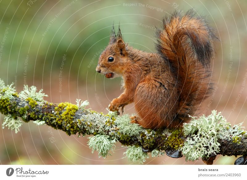 Red Squirrel Science & Research Biology Environment Nature Animal Earth Plant Tree Forest Wild animal 1 Wood Love of animals Environmental protection fauna