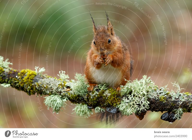 Red Squirrel Science & Research Biology Environment Nature Animal Earth Tree Forest Wild animal 1 Wood Love of animals Environmental protection fauna Mammal