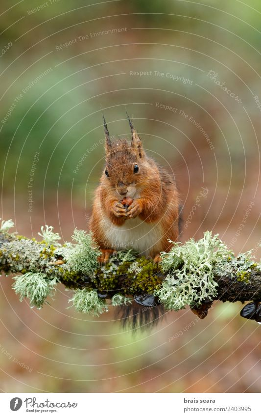 Red Squirrel Environment Nature Animal Earth Spring Tree Forest Wild animal 1 Wood Eating Feeding Love of animals Freedom fauna Mammal Spain spanish Europe