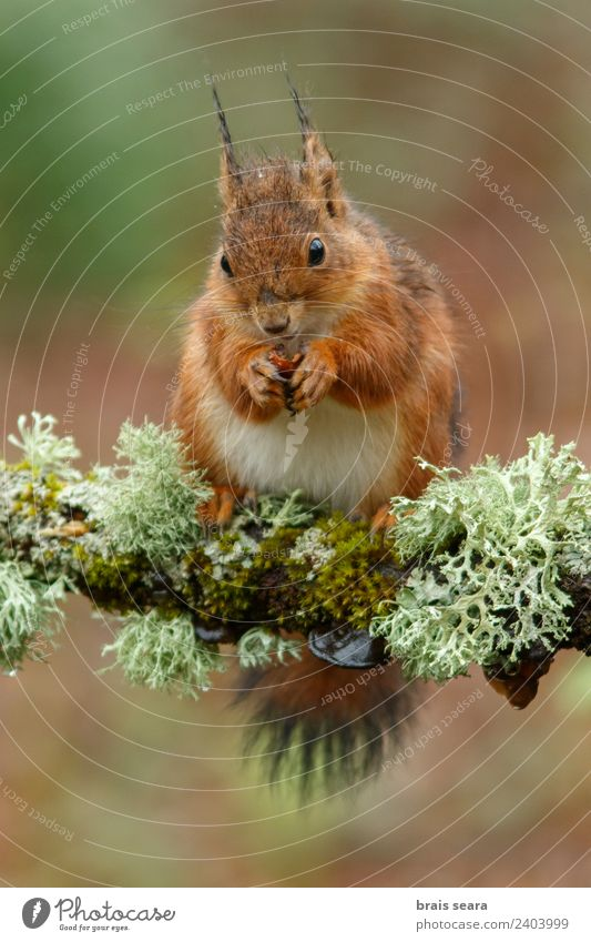 Red Squirrel Environment Nature Animal Earth Forest Wild animal 1 Diet Eating Feeding Love of animals fauna Mammal Spain spanish Europe European eurasia Rodent