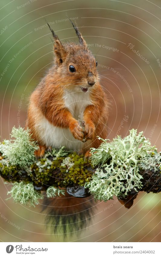 Red Squirrel Science & Research Biology Environment Nature Animal Earth Tree Forest Wild animal 1 Eating Feeding Natural Love of animals fauna Mammal Spain