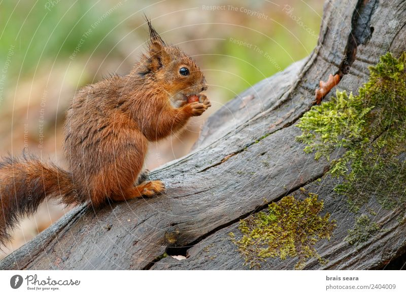 Red Squirrel Science & Research Biology Environment Nature Animal Earth Forest Wild animal 1 Eating Feeding Natural Love of animals fauna Mammal Spain spanish
