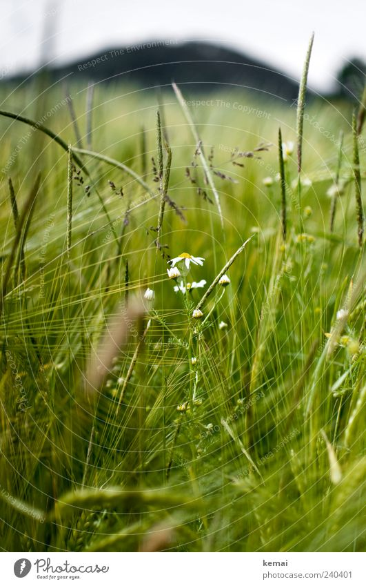 Maturing field Environment Nature Plant Sunlight Summer Grass Blossom Foliage plant Agricultural crop Wild plant Barley Chamomile Field Growth Green