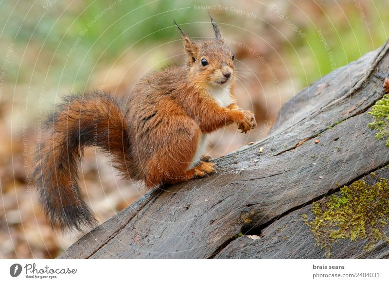 Red Squirrel Science & Research Biology Environment Nature Animal Earth Tree Forest Wild animal 1 Eating Feeding Love of animals fauna Mammal Spain spanish