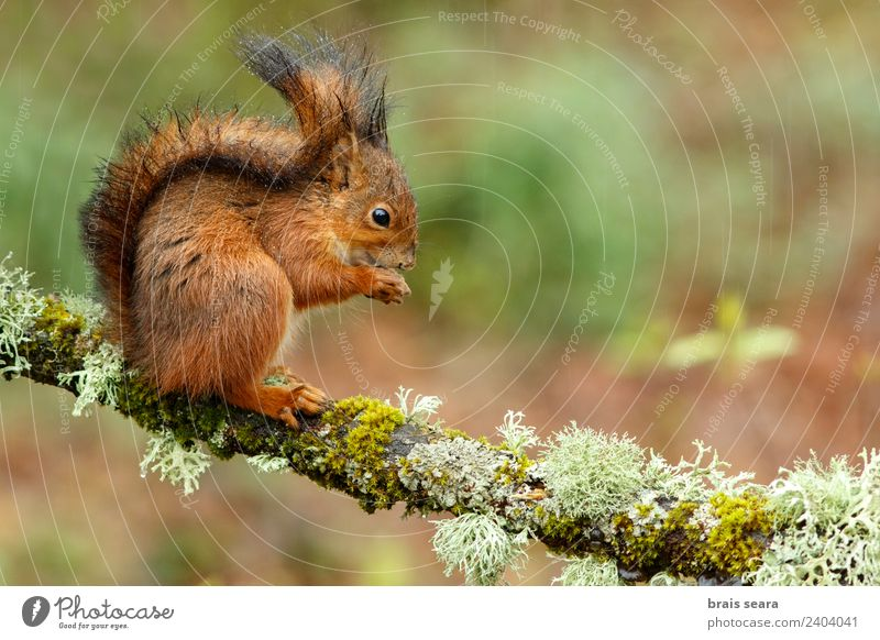 Red Squirrel Science & Research Biology Environment Nature Animal Earth Forest Wild animal 1 Eating Feeding Love of animals fauna Mammal Spain spanish Europe