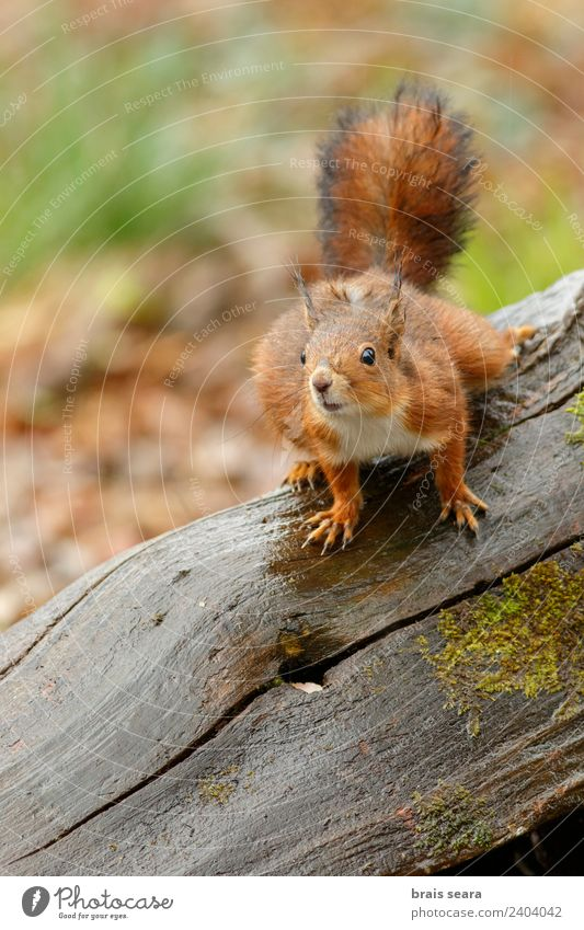 Red Squirrel Nature Tree - a Royalty Free Stock Photo from