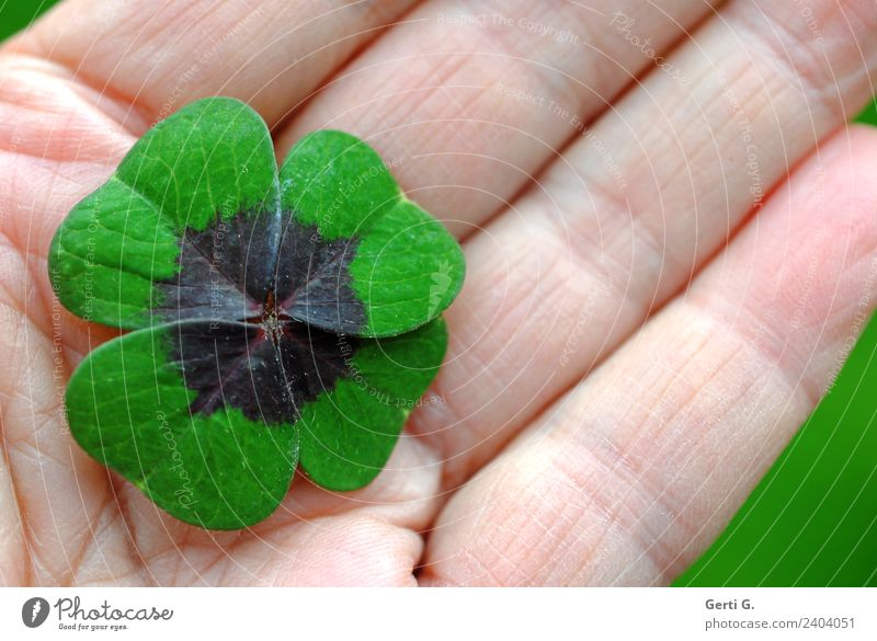 ...is obvious Foliage plant Four-leafed clover Cloverleaf lucky cloverleaf Sign Good luck charm Green Emotions Happy Contentment Peaceful Calm Leaf Hand palm