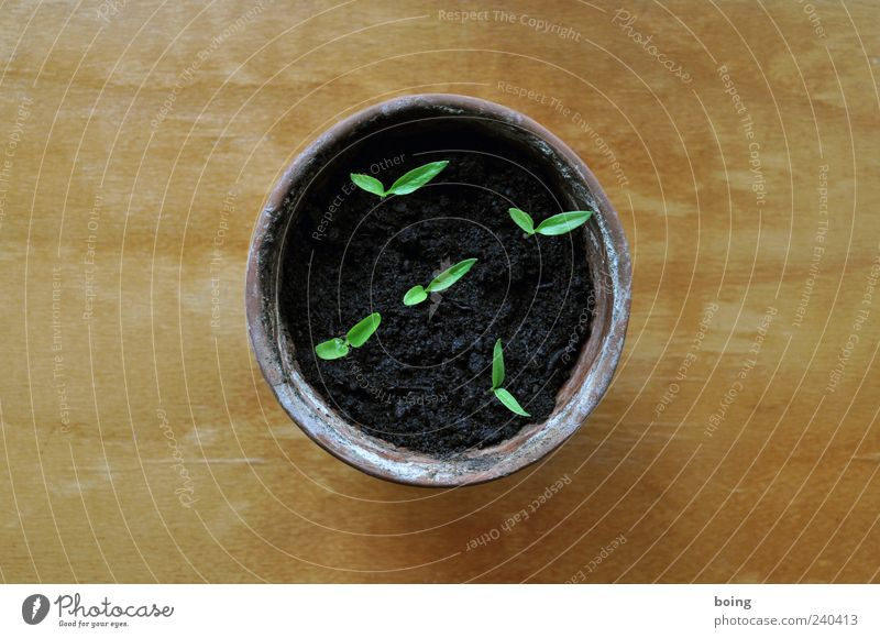 chili Plant Agricultural crop Pot plant Germ Germinate Peat Colour photo Sapling Delicate Graceful Flowerpot Copy Space right Copy Space left