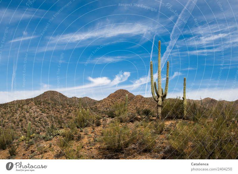 desert landscape Landscape Plant Sand Sky Beautiful weather Drought Saguaro cactus Prickly bush Palo verde Hill Desert Sonora Desert To dry up Growth Hiking