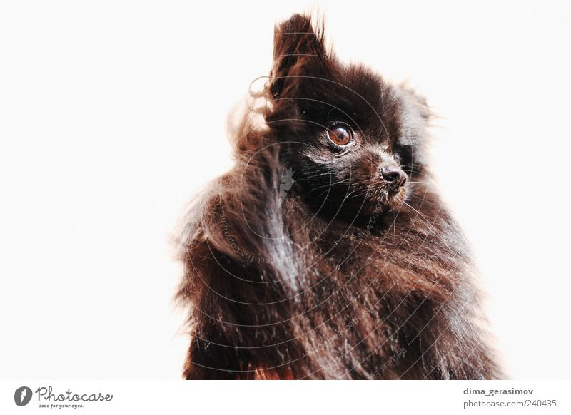 Hairy monster Beautiful White Black Animal Dog Dangerous Animal face Hunting Stress Silver Pet Truth Baby animal