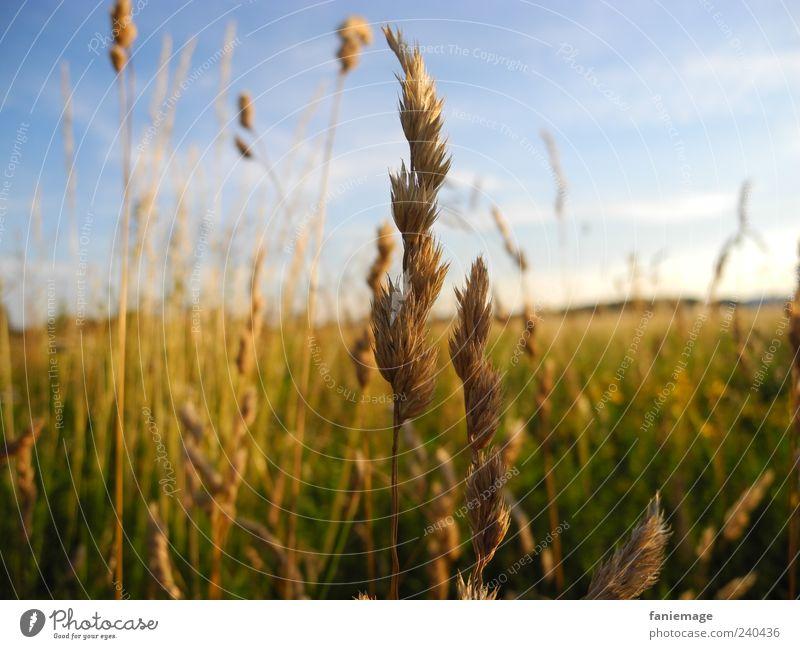 Nature Blue Green Plant Summer Environment Yellow Grass Brown Field Warm-heartedness Idyll Beautiful weather Blade of grass Blue sky
