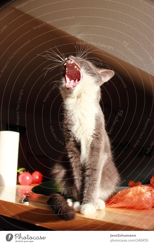 Cat Animal Wood Paper Pelt Animal face Appetite Fatigue Pet Boredom Tomato Muzzle Packaging Vegetable Food Yawn