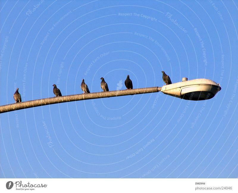 Lamp Bird Lantern Street lighting Pigeon