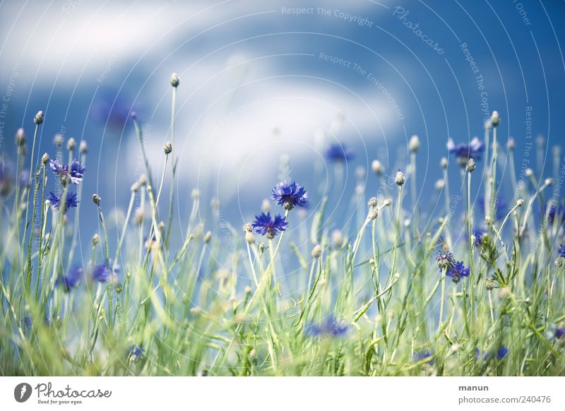 cornflowers Nature Sky Clouds Spring Summer Plant Flower Bushes Leaf Blossom Cornflower Margin of a field Authentic Natural Beautiful Blue Colour photo