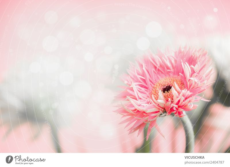 Gerbera flower on pink background Style Design Summer Feasts & Celebrations Mother's Day Wedding Birthday Nature Plant Flower Bouquet Soft Pink