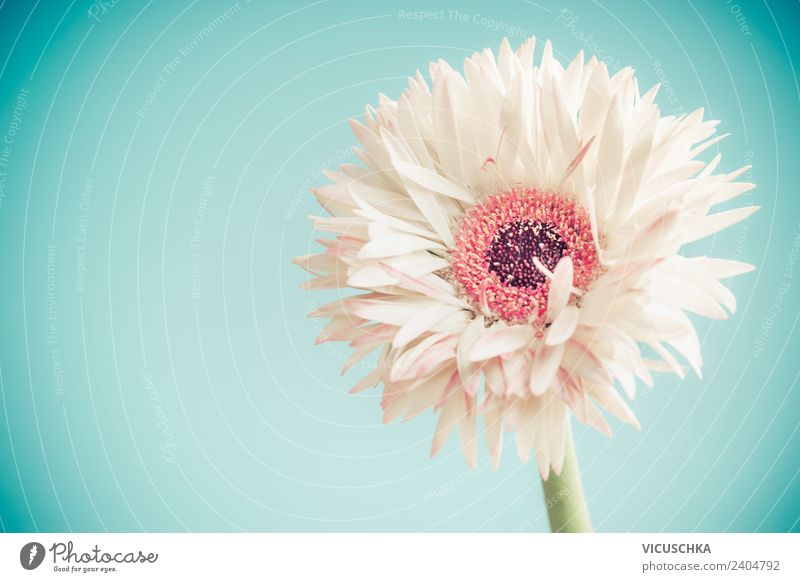 White Gerbera Blum on blue background Elegant Style Design Summer Valentine's Day Mother's Day Wedding Birthday Nature Plant Spring Flower Blossom Decoration