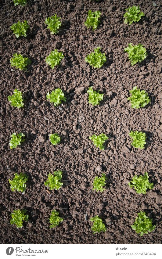 Insalata verde Organic produce Gardening Environment Nature Plant Foliage plant Agricultural crop Lettuce Field Growth Natural Brown Green