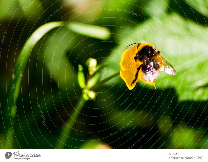 Nature Green Summer Plant Flower Animal Yellow Environment Spring Blossom Glittering Wild animal Wing Insect Bumble bee Bee