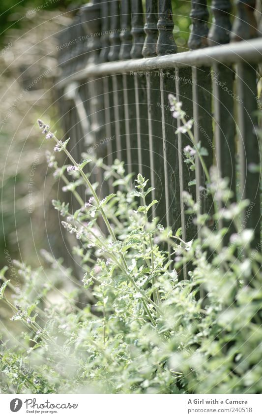 Nature Plant Summer Flower Spring Natural Wild Growth Iron Lavender Agricultural crop Herbs and spices Wild plant Metalware Garden fence Light green